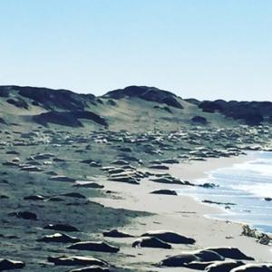 Juvenile_Elephant Seals