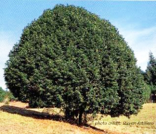 myrtle_tree