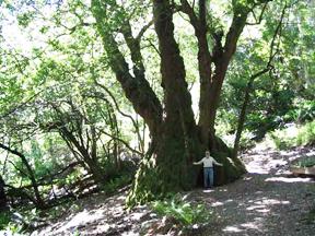 oregons_largest_myrtlewood_tree